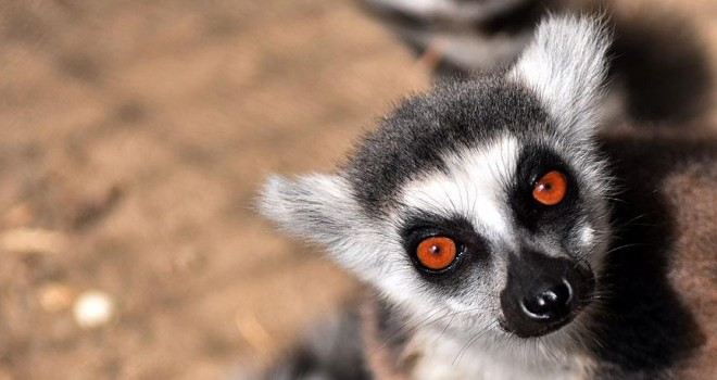 Lemurlar hayvan parkının ilgi odağı oldu