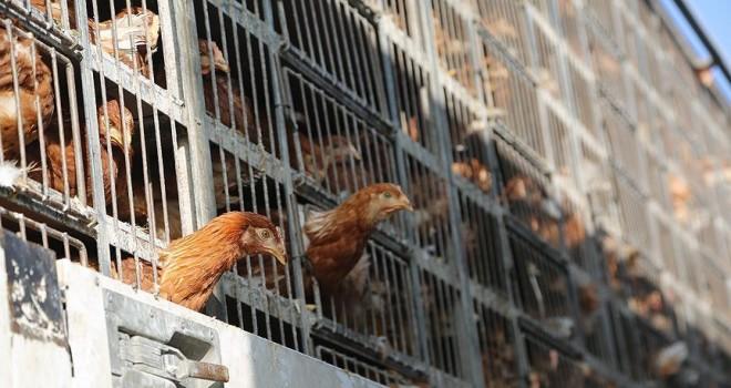 Karaman'dan Irak'a 110 bin yumurta tavuğu