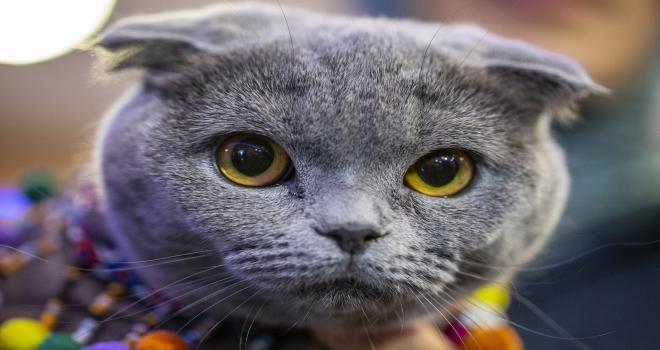 Başkentte Kedi Güzellik Festivali düzenlendi
