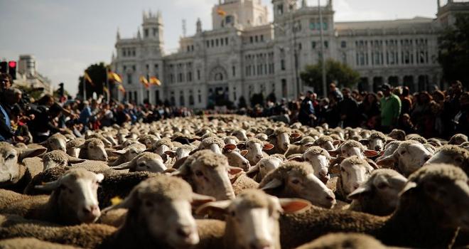 Madridde koyunlar şehir merkezine indi