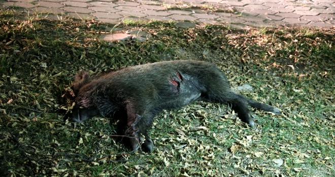Otomobilin çarptığı domuz yavrusu telef oldu
