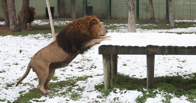 Aslanların kar üstünde beslenme keyfi