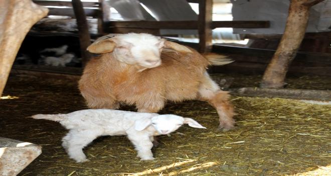 Anaç keçi ve koyun desteği ödemeleri başladı
