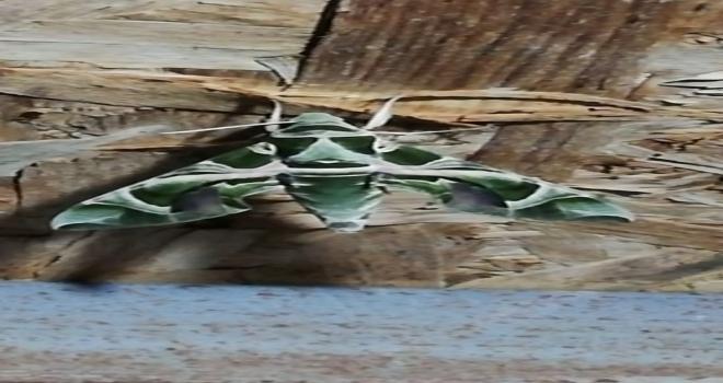 Seydişehirde Mekik Kelebeği görüldü