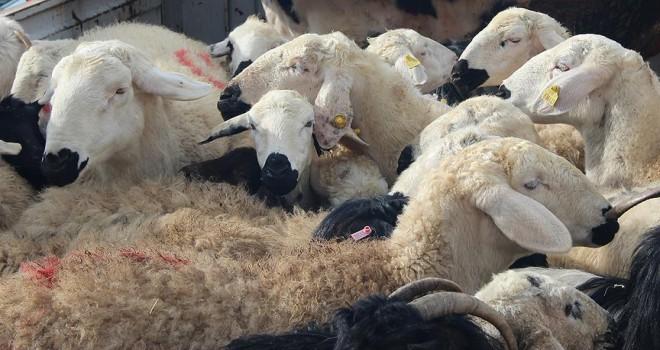 'Çalındı' ihbarı yaptığı koyunlar 'çalıntı' çıktı