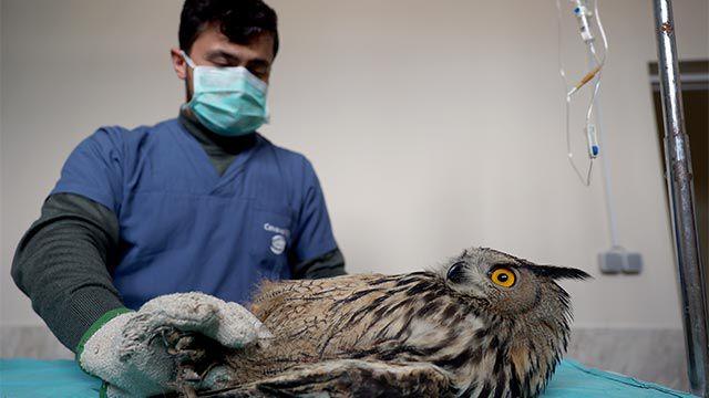 Avcıların vurduğu puhu kuşuna özel bakım
