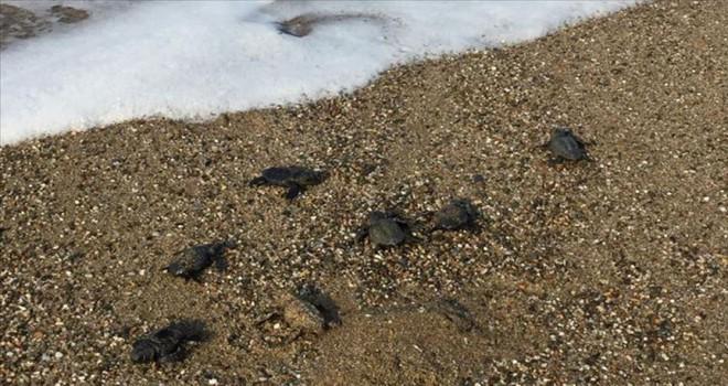 Caretta caretta yavruları denize ulaştırdı