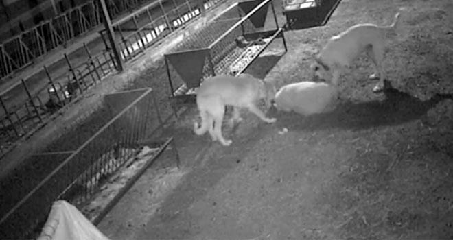 2 köpek 30 koyunuparçalayarak telef etti