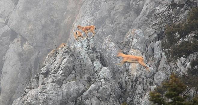 Torosların dağ keçileri sarp kayalıklarda görüntülendi