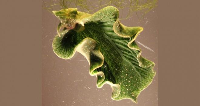 ABD'de deniz salyangozu keşfedildi