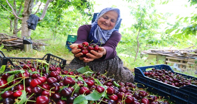 Konya'dan Rusya ve  Çin'e kiraz ihracatı