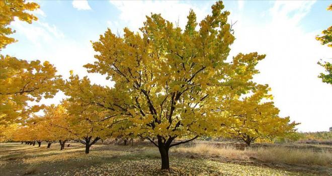 Kayısı bahçelerinde 'masalsı' sonbahar