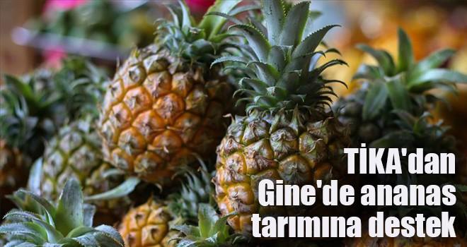 TİKA'dan Gine'de ananas tarımına destek
