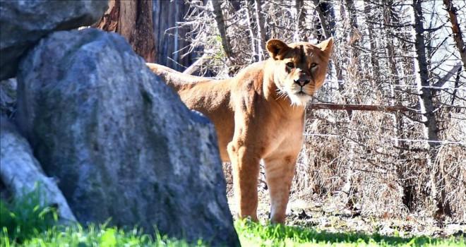 Dişi aslan 'Selma' yeni evine yerleşti
