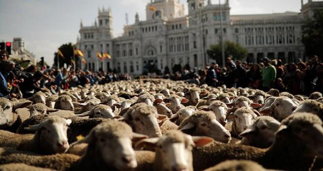 Madrid'de koyunlar şehir merkezine indi