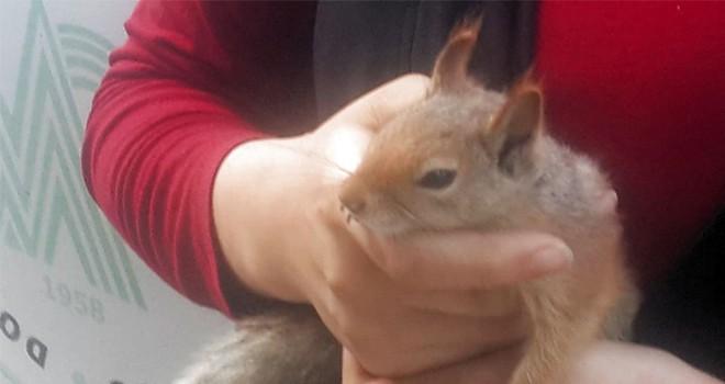 Yaralı sincap tedavi altına alındı