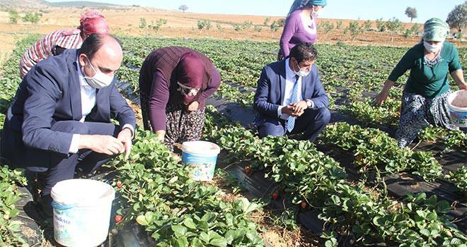 Altay, çalışan kadınlarla birlikte çilek hasadı yaptı