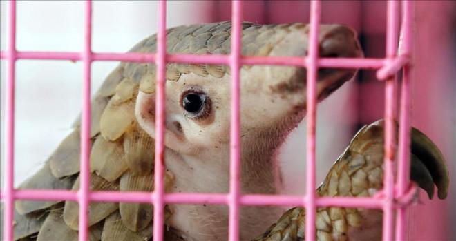 Çin'de 130 pangolin yetersiz bakımdan öldü