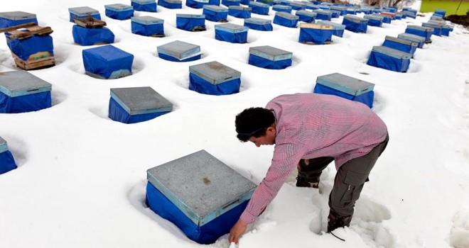 Kafkas Arısı'nın kar altında dayanıklılığı test edildi