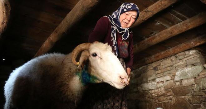 Kurtların saldırısı sonucu 21 koyun telef oldu