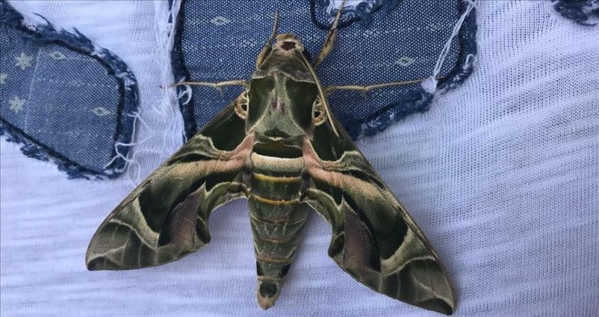 'Mekik kelebeği' Bodrum'da görüntülendi