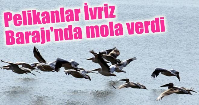 Pelikanlar İvriz Barajı'nda mola verdi