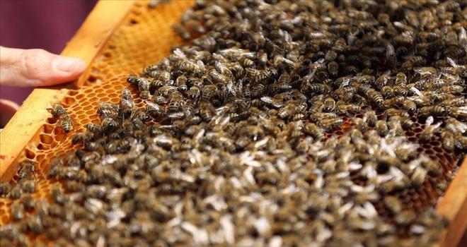 Arı ölümleri mercek altına alınacak