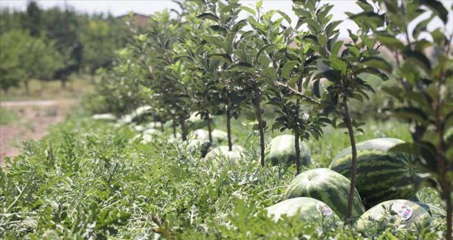 600 ton karpuz hasat edilecek