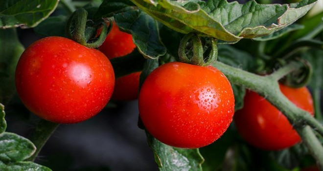 Rusya'ya domates ihracatında yeni dönem başladı