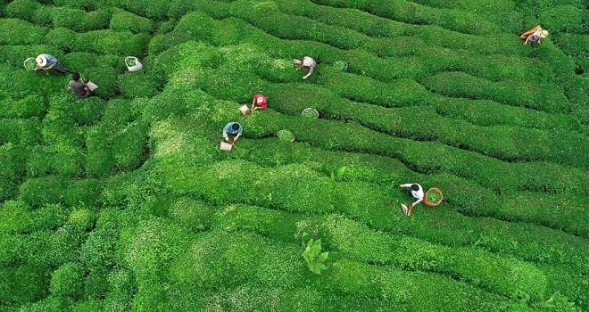 Doğu Karadeniz'den 6 ayda 2,3 milyon dolarlık çay ihracatı