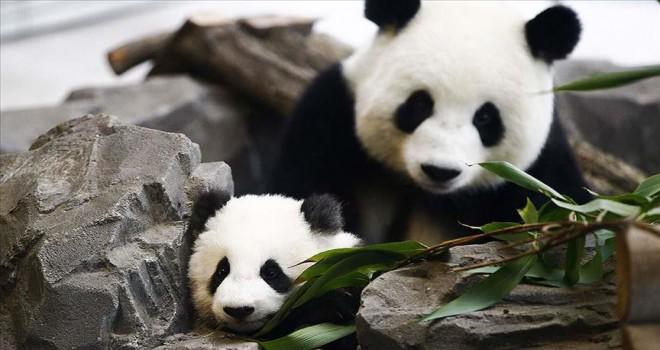 En çok panda ve deniz kaplumbağası evlat edindik