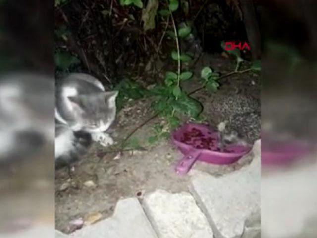 Kedisi için bıraktığı mamaları kirpiler yedi